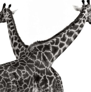 2 giraffes crossed, herb ritts, mep, maison européenne photographie, expo paris, blog